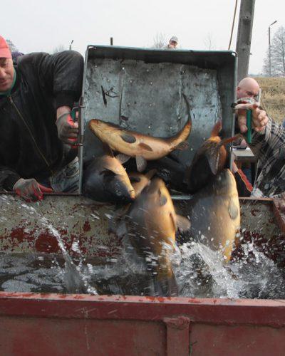 Odławianie ryb wgospodarstwie rybackim Ruda Różaniecka Dębowy Dwór naRoztoczu