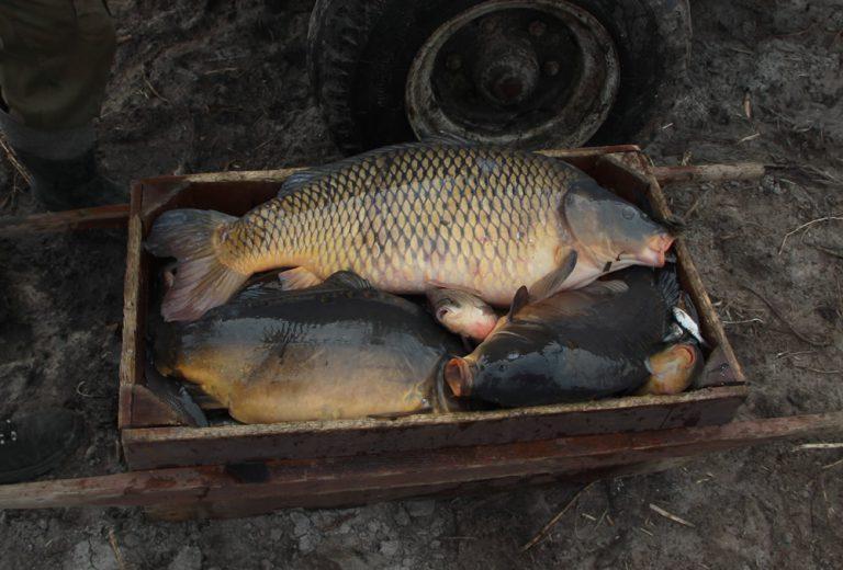 Karpie odłowione wgospodarstwie rybackim Ruda Różaniecka Dębowy Dwór naRoztoczu